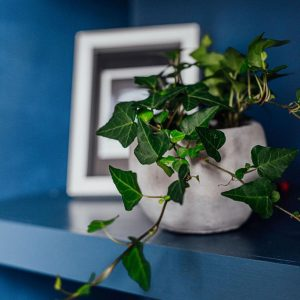 Ivy-hedera-houseplant-on-blue-shelf-iris-co
