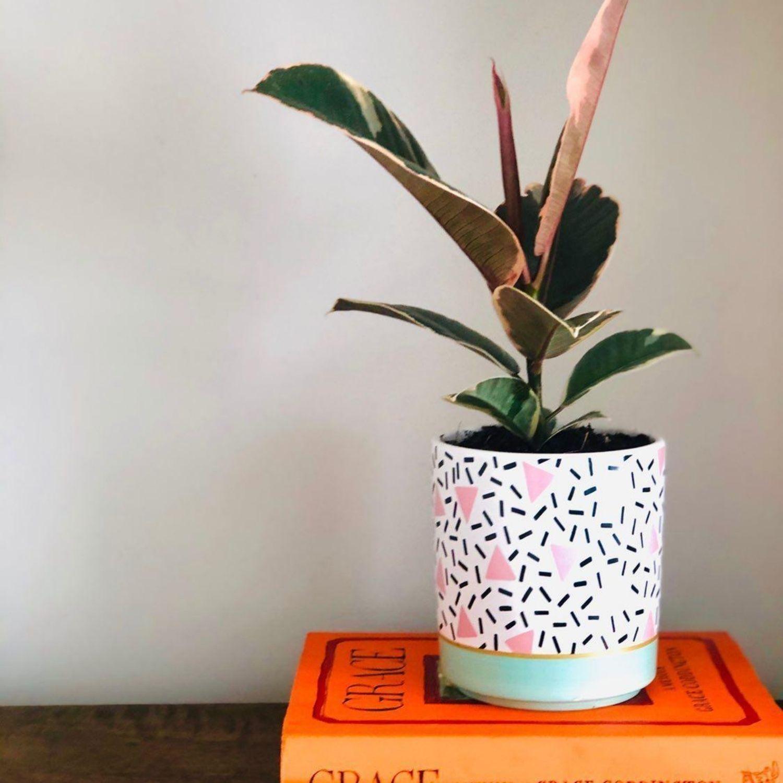 Buy Tineke Rubber Plant Ficus Elastica Online Iris Co