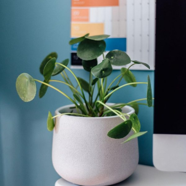 pilea-chinese-money-plant-in-grey-textured-pot