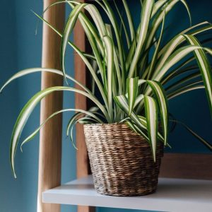 spider-plant-in-basket-on-shelves