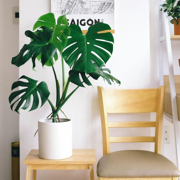 large-monstera-deliciosa-in-white-pot-side-table