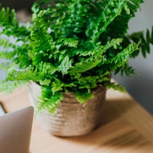 fearne-boston-fern-cement-basket