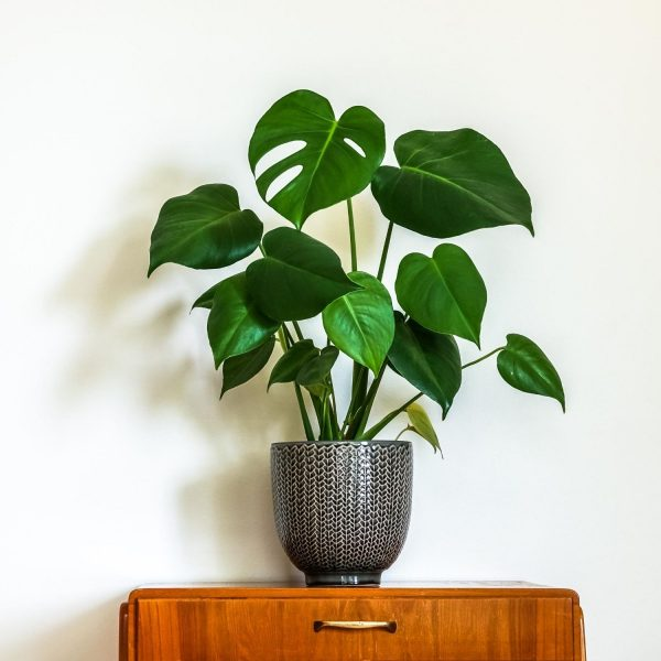 monstera-deliciosa-swiss-cheese-houseplant-in-pot-on-wooden-cabinet-iris-co