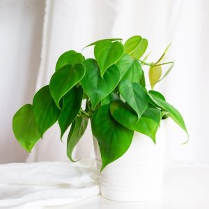 philodendron-scandens-houseplant-white-pot-iris-co