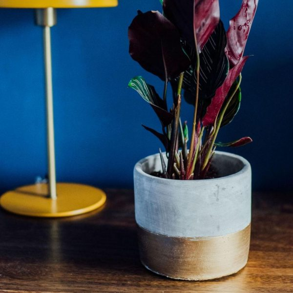 calathea in gold and concrete pot