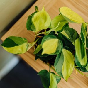 philodendron-brasil-houseplant-from-above-iris-co