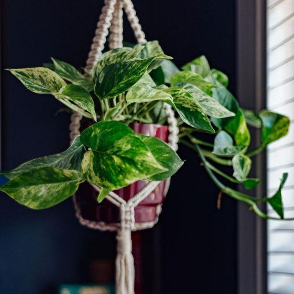 hanging-marble-queen-pothos-in-macrame-plant-hanger-medium