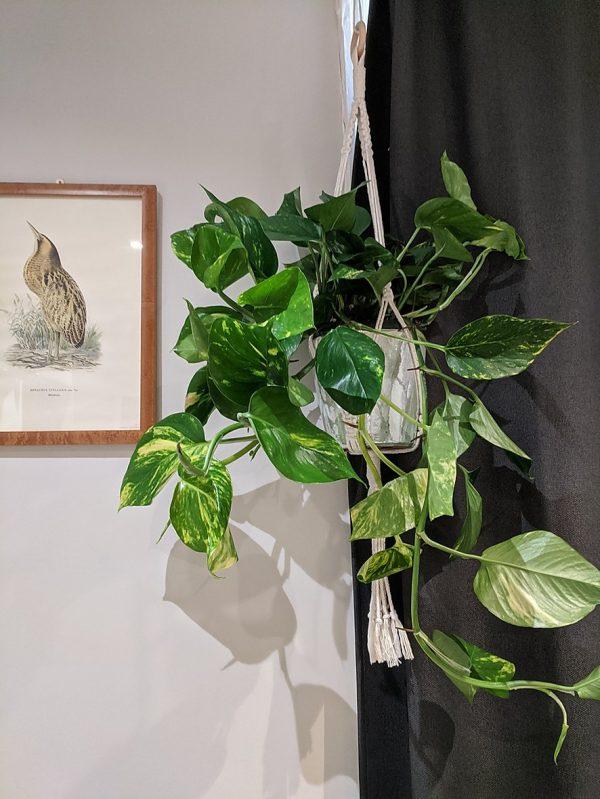 large hanging Pothos in macrame hanger