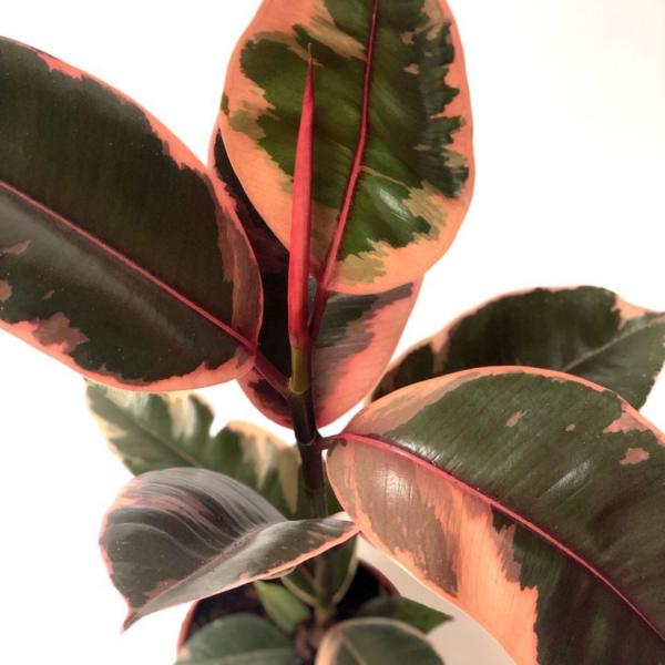 rubber plant Belize online houseplant shop