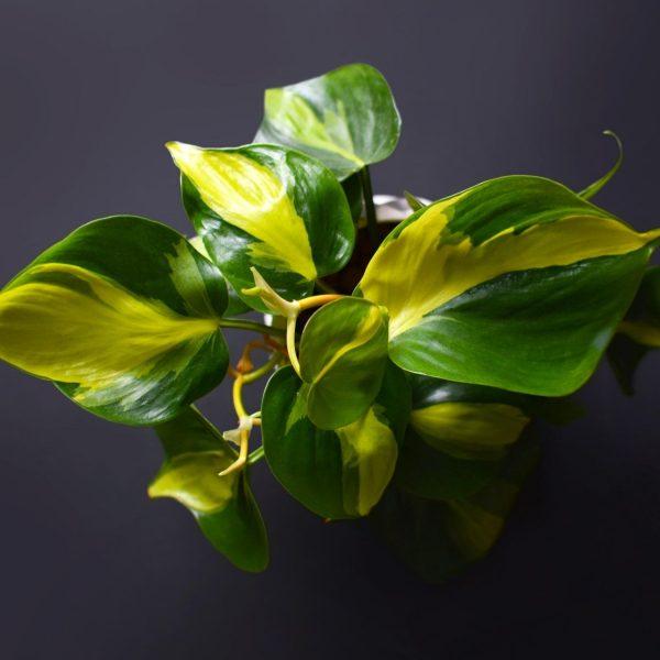 philodendron-brasil-houseplant-leaves