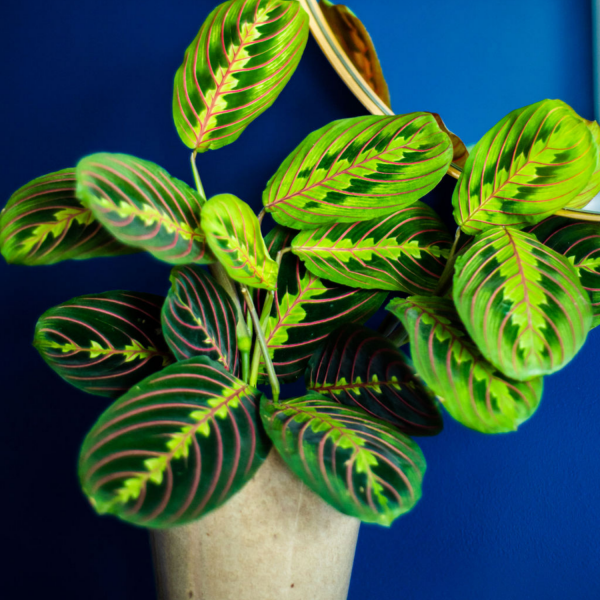 maranta plant against blue background and mirror
