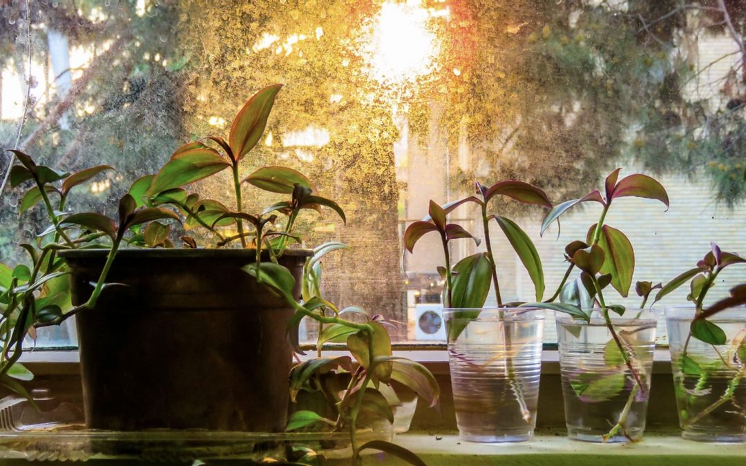 How to Propagate Tradescantia House Plant