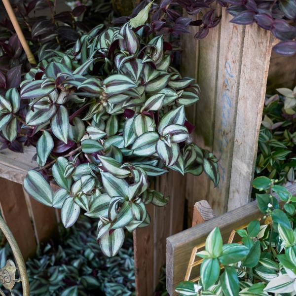 tradescantia zebrina houseplant on a shelf