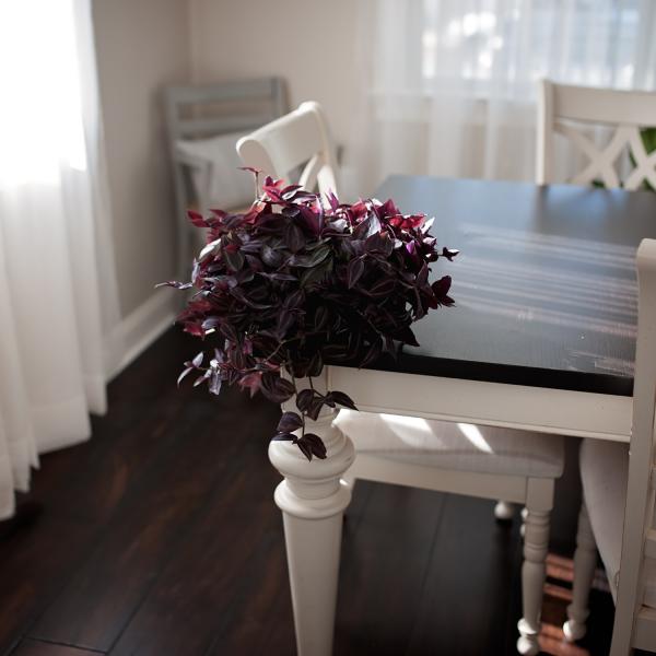 tradescantia zebrina houseplant on a table