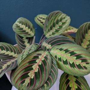 maranta leaf pattern close up