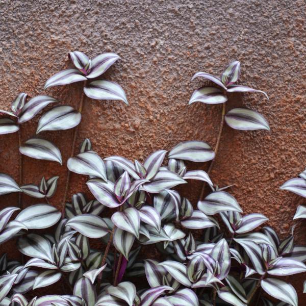 tradescantia zebrina houseplant climbing a brown wall