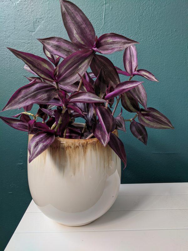 tradescantia in glazed ombre neutral pot