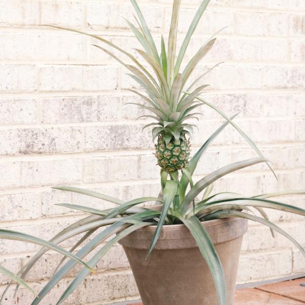 dwarf pineapple houseplant iris & co