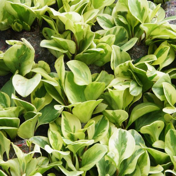 pothos njoy buy houseplant online