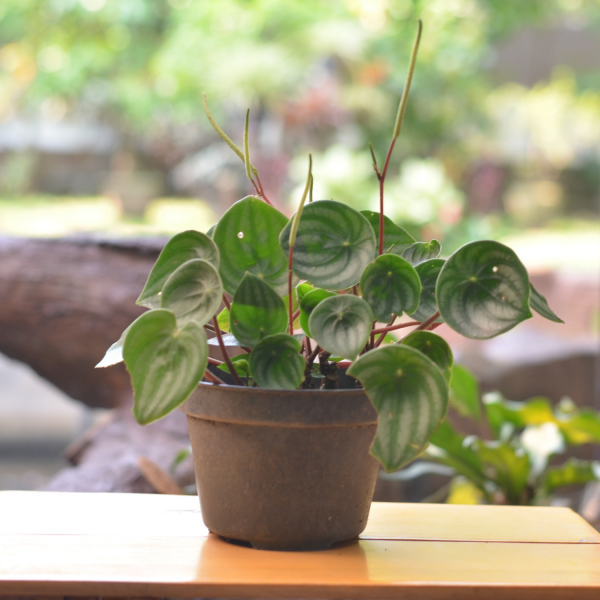 watermelon peperomia in a brown pot on table