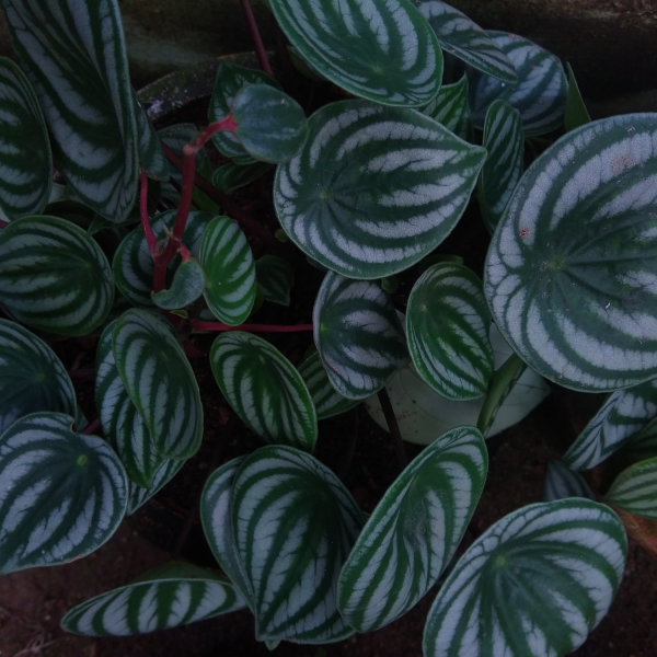 watermelon peperomia close up of patterned leaves