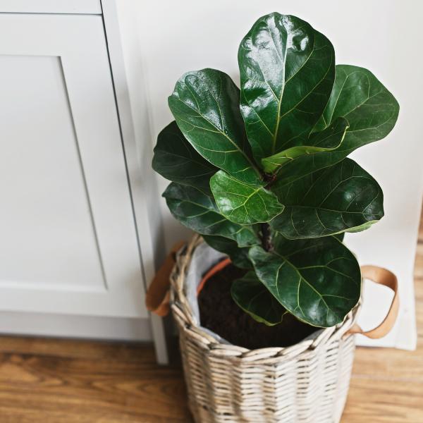 fiddle leaf fig houseplant in a white basket