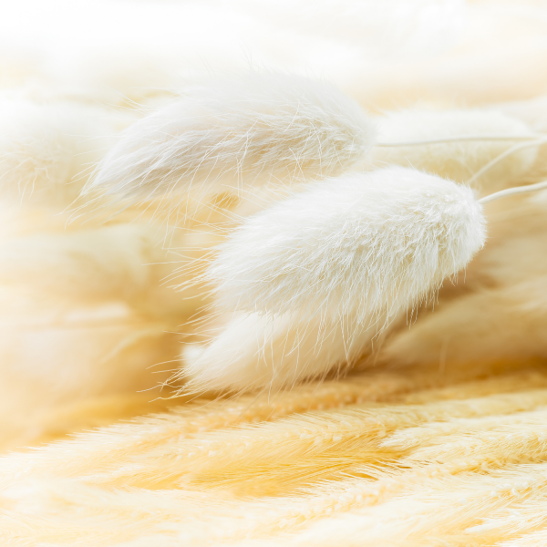Dried White Bunny Tail Grass close up