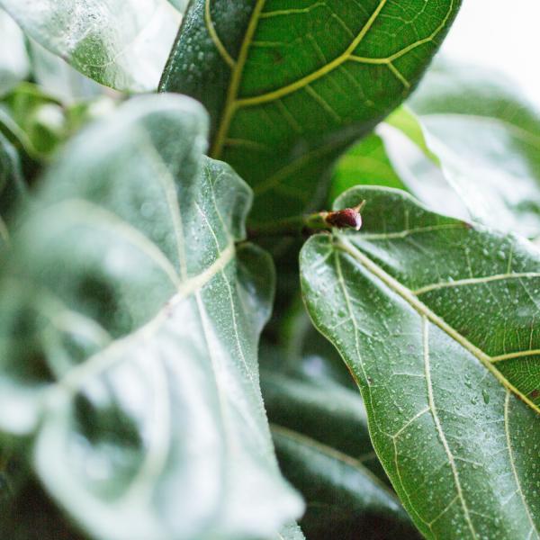 fiddle leaf fig houseplant leaf close up