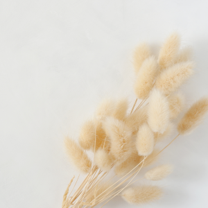 Dried Bunny Tail Grass natural in a bunch
