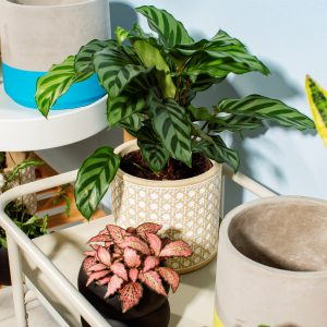 rattan concrete plant pot on a table with a maranta plant inside