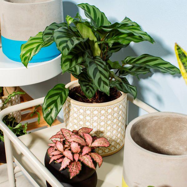 rattan concrete plant pot on a table with a maranta plant inside