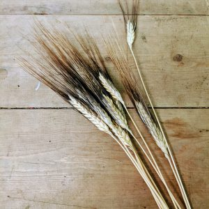 dried wheat sheaf stems