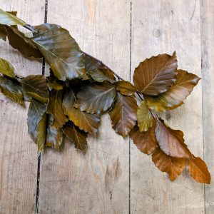 preserved beech leaves