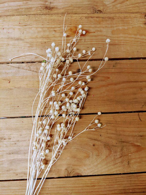 dried seed pod flowers